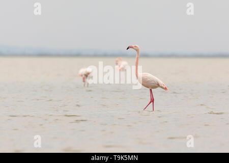 Greater flamingos, Phoenicopterus roseus, in Camargue, France. - Stock Photo