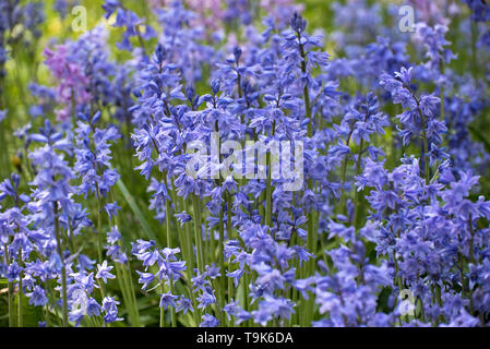 Spanish Bluebells(hyacinthoides hispanica)  in an Edinburgh churchyard. - Stock Photo