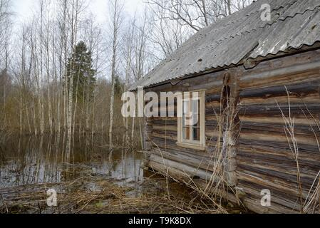 Derelict, abandoned cottage in woodland flooded by Eurasian beavers (Castor fiber) damming a river nearby, with several saplings recently cut by them  - Stock Photo