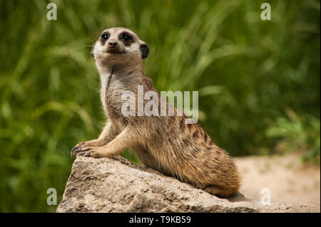 Close up portrait of a meerkat (Suricata suricatta) is siiting on a rock and looking in its typical way, captured with contrasty details in fur - Stock Photo