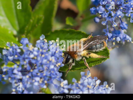 Andrena haemorrhoa (Early mining bee, Orange-tailed mining bee) collecting pollen from Californian lilac (Ceanothus) in Spring (May), West Sussex, UK - Stock Photo