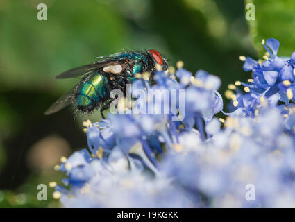Closeup macro of a Common Green bottle Fly (Lucilia sericata, Greenbottle fly) on a Californian lilac (Ceanothus) in Spring (May), West Sussex, UK. - Stock Photo