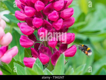 Buff-tailed bumblebee (Bombus terrestris) flying towards a pink Lupin (Lupinus) flower in Spring (May) in West Sussex, UK. - Stock Photo