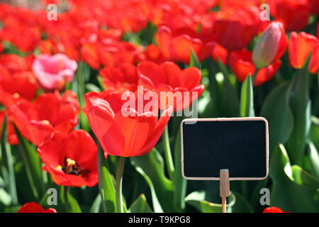 Red tulips. Spring in the garden, flowering flowers. - Stock Photo