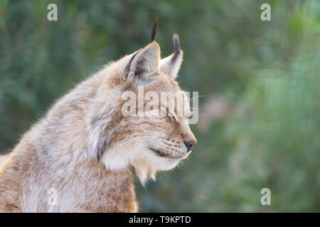Eurasian lynx close up head portrait - Stock Photo