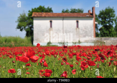 Poppy field in a Spring morning in Tuscany. - Stock Photo