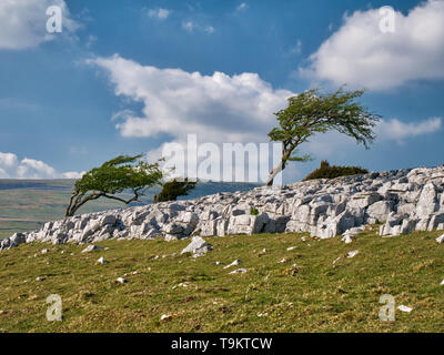 Wind blown trees on Twistleton Scar End, near Ingleton in the Yorkshire Dales, UK - Stock Photo