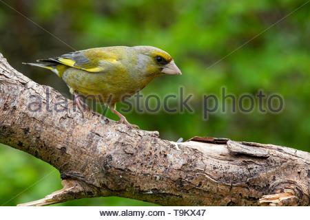 Greenfinch (Carduelis chloris) on tree branch - Stock Photo