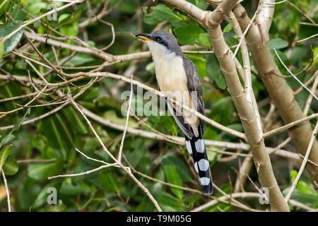 Mangrove cuckoo, Coccyzus minor, Tobago, Trinidad and Tobago - Stock Photo