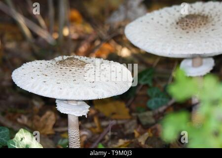 Close up of parasol mushrooms (Macrolepiota procera) in the underwood of a dutch forest - Stock Photo