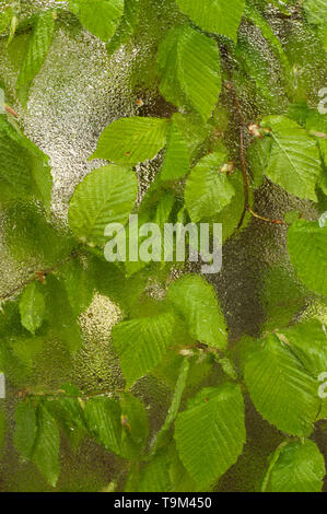 Fallen leaf stuck to the window that gets wet from rain drops. . Cozy window with spring new leaves. Season and weather concept. - Stock Photo