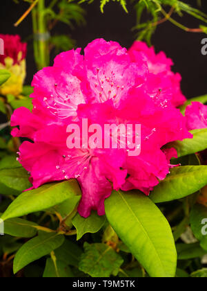 Large, red-pink late spring flowers in the truss of the large leaved rhododendron, Rhododendron 'Caractacus' - Stock Photo