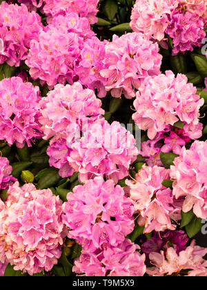 Large trusses of late spring pink flowers of the Catawba rosebay variety, Rhododendron catawbiense 'Roseum Elegans' - Stock Photo