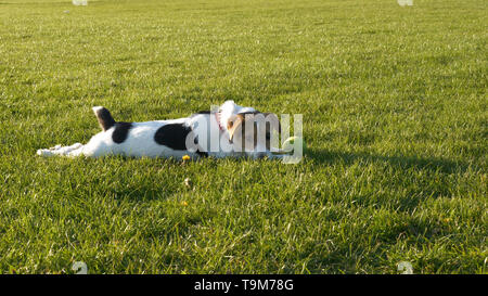 jack russell terrier dog playing on grass in british park - Stock Photo