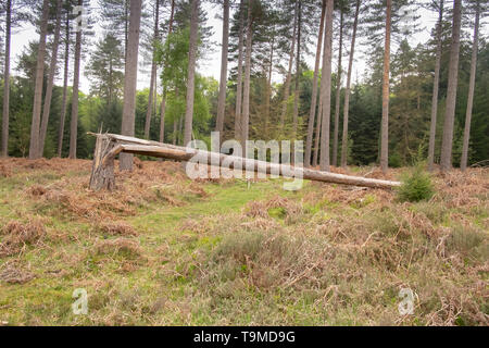 Fallen and split pine tree trunk in the  ancient New Forest, Hampshire, England, UK - Stock Photo