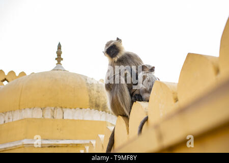A gray langur monkey is nursing her son sitting on a temple in Jaipur. Gray Langurs are a group of Old World monkeys native to the Indian subcontinent - Stock Photo