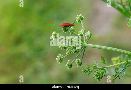 A Cardinal Beetle (Pyrochroa serraticornis), a common small British bug, on cow parsley in Test Valley, Southampton Hampshire, southern England, UK - Stock Photo