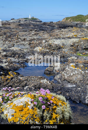 A clump of Sea Thrift (Armeria maritima) growing on a lichen-covered rock on Godrevy Beach, Cornwall, with Godrevey Lighthouse in the background - Stock Photo