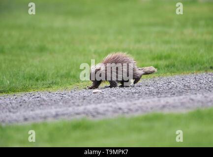 A young North America porcupine, (Erethizon dorsatum), Upper Clements, Annapolis Royal, Nova Scotia, Canada - Stock Photo