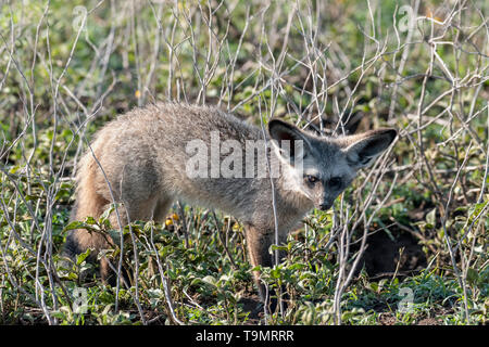 Bat-eared fox (Otocyon megalotis) in the grasses, side view, Lake Ndutu, Tanzania - Stock Photo