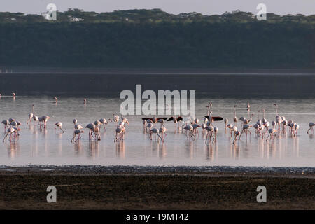 Greater flamingos (Phoenicopterus roseus) feeding in Lake Ndutu, Tanzania - Stock Photo