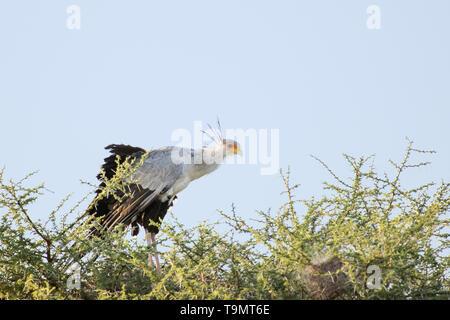 Young secretary bird (Sagittarius serpentarius) perched in an acadia tree, Lake Ndutu, Tanzania - Stock Photo