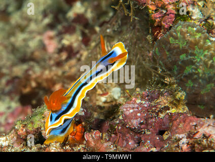 Macro of an anna`s chromodoris nudibranch, chromodoris annae crawling on coral of Bali - Stock Photo