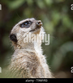 A meerkat standing and looking upward in the sky with sand on its nose or snout. Close up photo. - Stock Photo