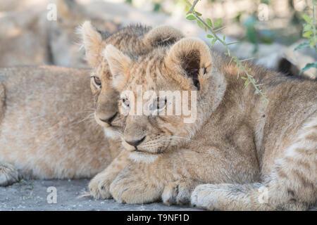 Lion siblings watching, Tanzania - Stock Photo