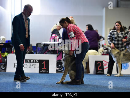 Dortmund, Germany. 19th May, 2019. A Saarloos wolfhound is seen during the Hund and Katz exhibition in Dortmund, Germany, on May 19, 2019. The three-day event hosted by German Kennel Club, presents dogs and cats of more than 200 breeds from around the world. Credit: Lu Yang/Xinhua/Alamy Live News - Stock Photo