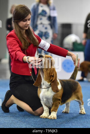 Dortmund, Germany. 19th May, 2019. A Basset Hound is seen during the Hund and Katz exhibition in Dortmund, Germany, on May 19, 2019. The three-day event hosted by German Kennel Club, presents dogs and cats of more than 200 breeds from around the world. Credit: Lu Yang/Xinhua/Alamy Live News - Stock Photo