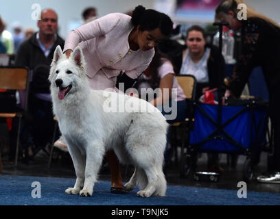 Dortmund, Germany. 19th May, 2019. A Berger Blanc Suisse is seen during the Hund and Katz exhibition in Dortmund, Germany, on May 19, 2019. The three-day event hosted by German Kennel Club, presents dogs and cats of more than 200 breeds from around the world. Credit: Lu Yang/Xinhua/Alamy Live News - Stock Photo