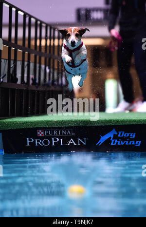 Dortmund, Germany. 19th May, 2019. A Jack Russell Terrier is seen in the 'Diving Dog' competition during the Hund and Katz exhibition in Dortmund, Germany, on May 19, 2019. The three-day event hosted by German Kennel Club, presents dogs and cats of more than 200 breeds from around the world. Credit: Lu Yang/Xinhua/Alamy Live News - Stock Photo