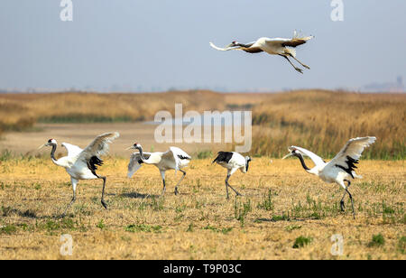 (190520) -- BEIJING, May 20, 2019 (Xinhua) -- Several red-crowned cranes are pictured at a breeding center for crane species in Panjin, northeast China's Liaoning Province, May 9, 2019. Liaoning Province is located in the southern part of Northeast China, with the Bohai Sea and the Yellow Sea lying to its south. Over the years, the provincial government has prioritized ecological development and set environmental improvement at the core of its agenda. The province's ecological conditions have been improving thanks to systematic conservation of the natural environment, overall management of the - Stock Photo