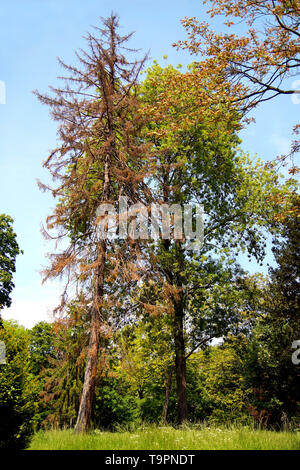 Scenic View of a dead conifer tree Standing in a Green Field in Volkspark Mainz Germany trees with dried brown conifer leaves in summer park - Stock Photo