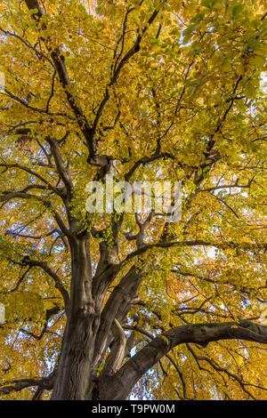 Yellowed leaves on a giant tree - Stock Photo