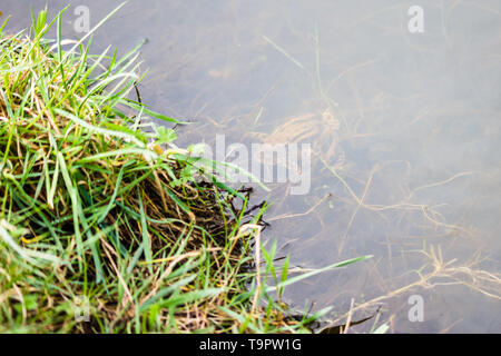 A pair of mating Common Toads (Bufo bufo) under the surface of a pond visible through the water - Stock Photo