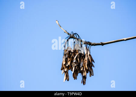 Last seasons winged seeds known as keys from an Ash tree Fraxinus excelsior against a clear blue spring sky - Stock Photo