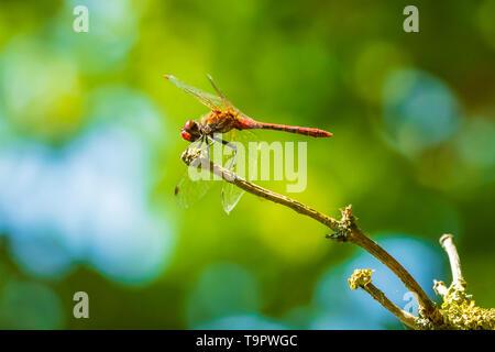 Close-up of a male vagrant darter, Sympetrum vulgatum, hanging on vegetation - Stock Photo