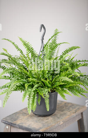 Nephrolepis plants, fern. Stylish green plant in ceramic pots on wooden vintage stand on background of gray wall. Modern room decor. sansevieria - Stock Photo