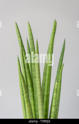 Sansevieria plants. Stylish green plant in ceramic pots on wooden vintage stand on background of gray wall. Modern room decor. sansevieria plants - Stock Photo