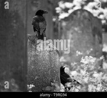 Crows in graveyard.. - Stock Photo