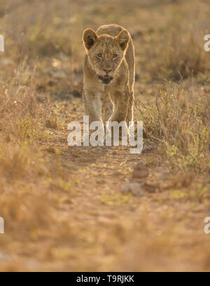 Lion and cubs during a South African safari - Stock Photo