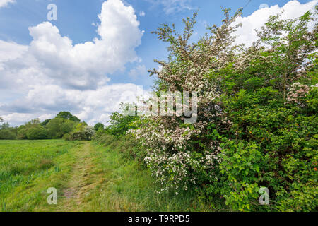 Hawthorn (crataegus) flowering in late spring / early summer along the Test Way footpath in Test Valley, Southampton, Hampshire, southern England, UK - Stock Photo