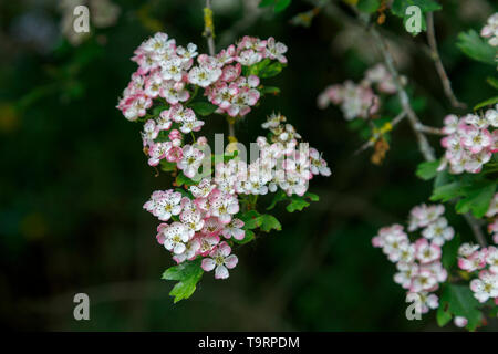 Hawthorn (crataegus) flowering with white and pink tinged flowers in late spring / early summer in Test Valley, Southampton, Hampshire, south England - Stock Photo