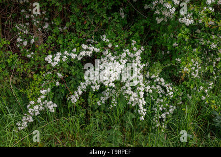 Hawthorn (crataegus) flowering in late spring / early summer in Test Valley, Southampton, Hampshire, southern England, UK - Stock Photo