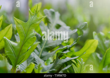 Close up fresh green fern leaves in the garden shallow depth of field - Stock Photo