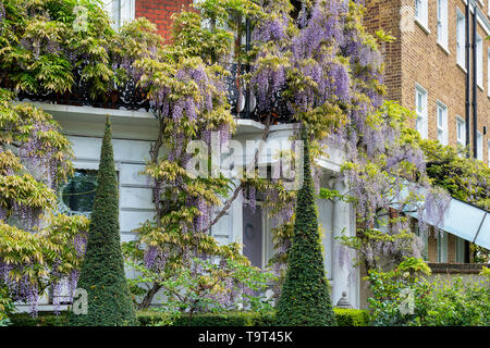 Conical topiary in the front garden with Wisteria on the house in Cheyne Walk, Chelsea, London, England - Stock Photo