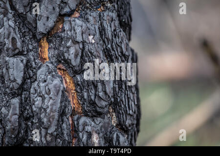 Close-up of burned bark of a  tree in burned forest - Stock Photo