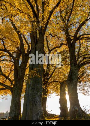 Lime-tree (Tilia) with autumn colouring and solar star, Dießen, Upper Bavaria, Bavaria, Germany, Europe, Linde (Tilia) mit Herbstfärbung und Sonnenste - Stock Photo